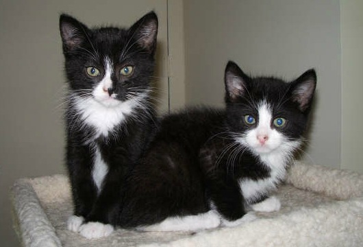 Two black and white kittens in condo tray