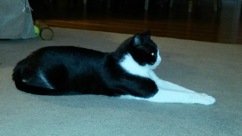 Tuxedo cat stretched out