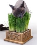 Cat eating cat grass from planter