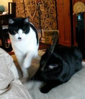Tuxedo cat and black cat