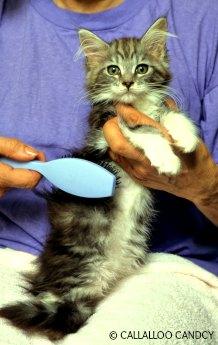 Brushing your cat