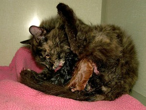 Healthy cat giving birth to kittens