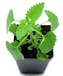 catnip plant for cats