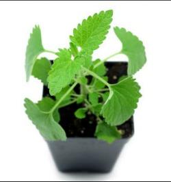 Live catnip plant in container