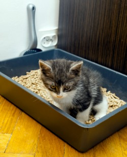 kitten in litter pan