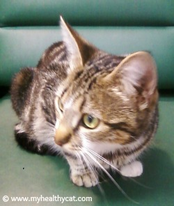 Tabby cat kitten