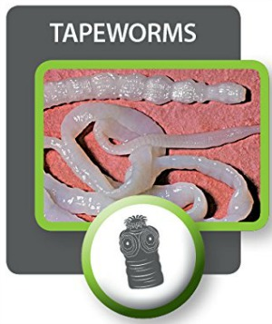 Picture of tapeworm