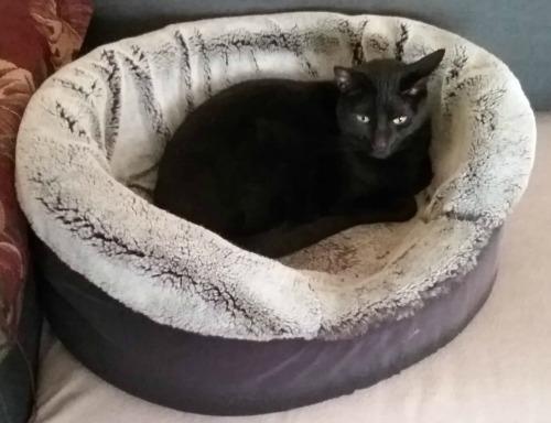 Black cat in cat bed