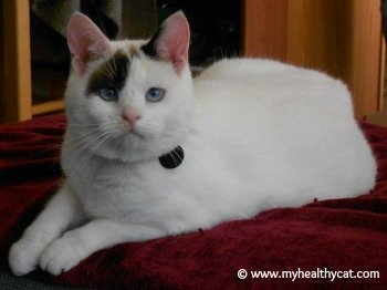white cat with markings