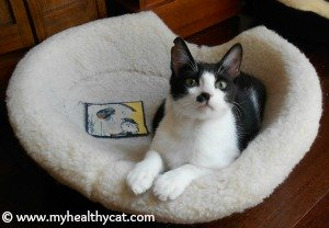 Tuxedo cat in padded cat bed