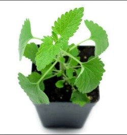 Live catnip plant in container