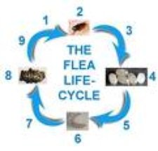 Flea Life Cycl