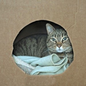 Cat inside homemade kittening box