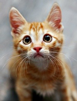 Orange tabby kitten with big eyes