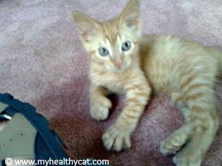 Polydactyl Kitten Ernie